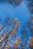 白桦冠上桦树反对天空 免版税库存图片