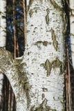 白桦吠声在冬天森林里 免版税库存照片