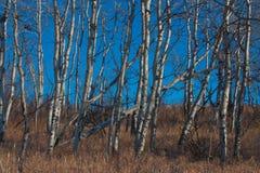 白桦树丛 库存图片