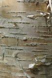 白桦树吠声 免版税图库摄影