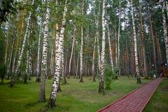 白桦树和杉木树在日落的光 免版税库存照片