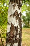白桦树干  库存图片
