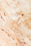 白桦树木头纹理  免版税库存照片