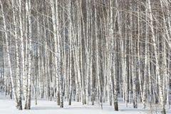 白桦树树丛  免版税库存图片