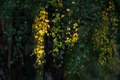 白桦树树黄色叶子在秋天,秋天开始  库存图片
