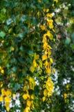白桦树树黄色叶子在秋天,秋天开始  库存照片