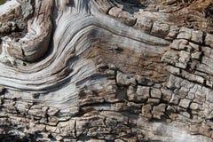 白桦树树细节  免版税库存图片