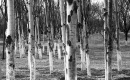 黑白桦树森林 免版税库存照片