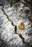 白桦树皮和叶子在苏格兰 库存图片