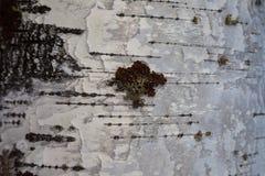 白桦树皮和青苔纹理 免版税库存照片