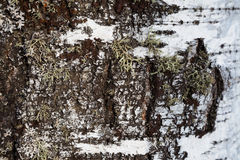 白桦树皮和青苔背景 库存图片
