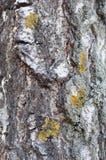 白桦树皮在一个晴天 免版税图库摄影