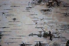白桦树皮特写镜头,黑白自然本底 桦树叶子绿色树丛可以 图库摄影