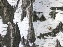 白桦树皮特写镜头 库存图片