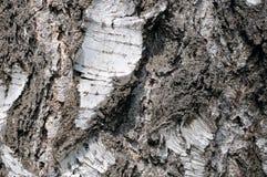 白桦树皮纹理作为背景 免版税库存照片