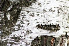 白桦树皮纹理背景资料 免版税库存照片