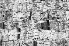 白桦树皮纹理,抽象背景 免版税库存图片