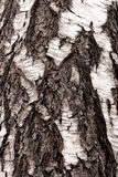 白桦树皮纹理 免版税库存照片