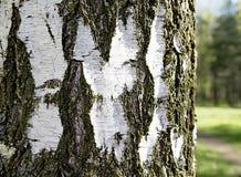 白桦树皮纹理 库存图片