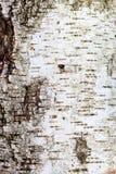 白桦树皮纹理 design_的背景 库存照片