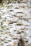 白桦树皮纹理 design_的背景 免版税库存图片