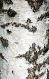 白桦树皮背景纹理  免版税图库摄影