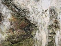 白桦树皮背景 库存照片