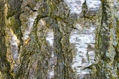 白桦树皮背景 免版税库存图片