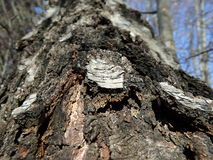 白桦树皮,桦树树干 库存图片