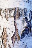 白桦树皮,纹理 免版税库存图片