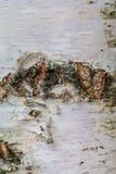 白桦树皮,老吠声,长期咆哮 免版税库存图片
