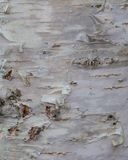白桦树皮,老吠声,长期咆哮 库存照片