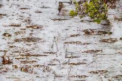 白桦树皮, design_的背景自然纹理  免版税库存照片