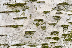 白桦树皮 库存照片