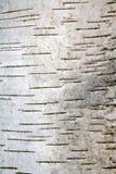 白桦树皮 免版税库存图片