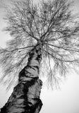 白桦树结构树在冬天 免版税库存照片