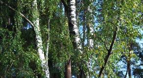 白桦森林在早期的秋天在一个晴天 库存照片