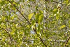 白桦绿色叶子在前景的 库存照片