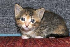 白棉布三色平纹小猫在红色织地不很细carpe蹲下了下来 库存照片