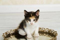 白棉布小猫 免版税图库摄影