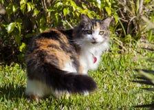 白棉布或Tortie猫 免版税库存照片