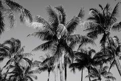 黑白棕榈树在迈阿密 库存照片
