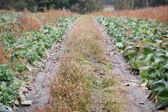 白椰菜一个好收获在秋天领域的 库存图片