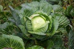 白椰菜一个好收获在秋天领域的 免版税库存图片