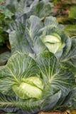 白椰菜一个好收获在秋天领域的 免版税图库摄影