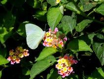 白椰菜蝴蝶 库存照片