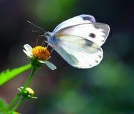 白椰菜蝴蝶 库存图片