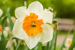 白橙色郁金香在庭院里 库存照片