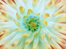 白橙色黄色大丽花的花 瓣色的光芒 特写镜头 在绽放的美丽的大丽花设计的 图库摄影