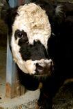 黑白母牛关闭  免版税库存图片
